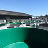 Some of the circular rearing tanks at Tacoma Power's Saltwater Park Sockeye Hatchery on Hood Canal in Mason County, Wash. The hatchery is part of the Cushman Hydro Project.
