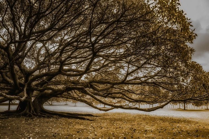 Moreton Bay Fig Tree 3