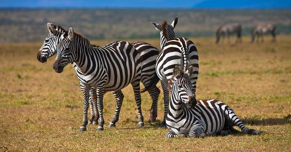155 - Zeal of Zebras, Serengeti, Kenya