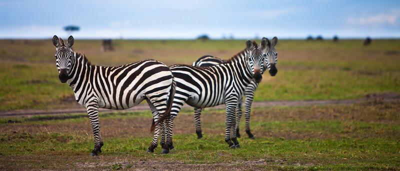 156 - Observant Zebras, Kenya