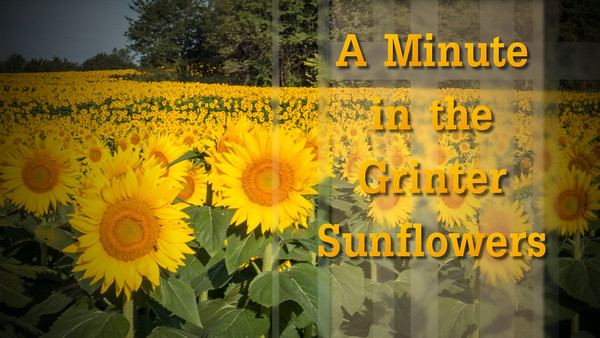 Grinter Sunflowers 2015