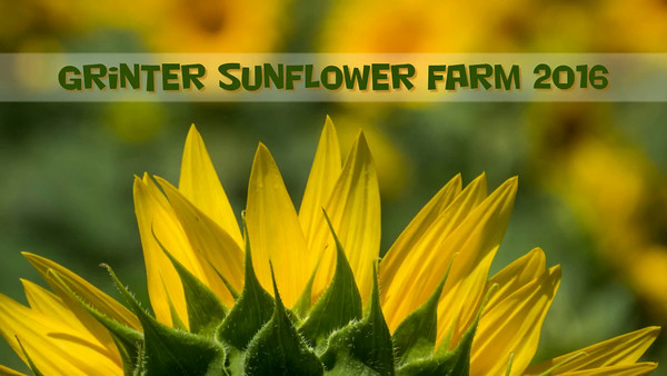 Grinter Sunflowers
