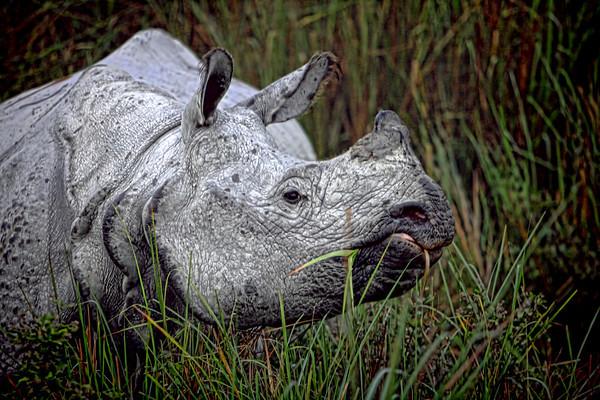 #IN009 Rhino