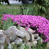 Flowers on stone wall, 28 Academy Ave, Hampton, NH on Saturday 5-14-2016.  Matt Parker Photos