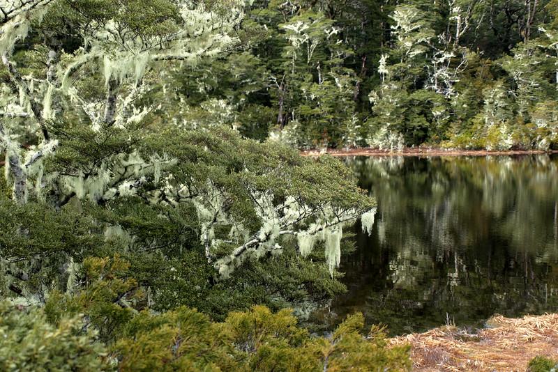 Lichen Forest, NZ