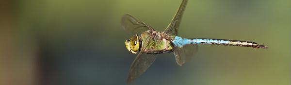 RJB_6738 Dragonfly in Flight banner 600