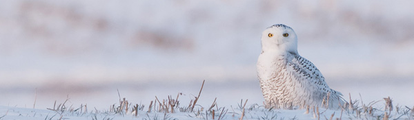DSC_2320 Snowy Owl enjoys the Hunt banner 600