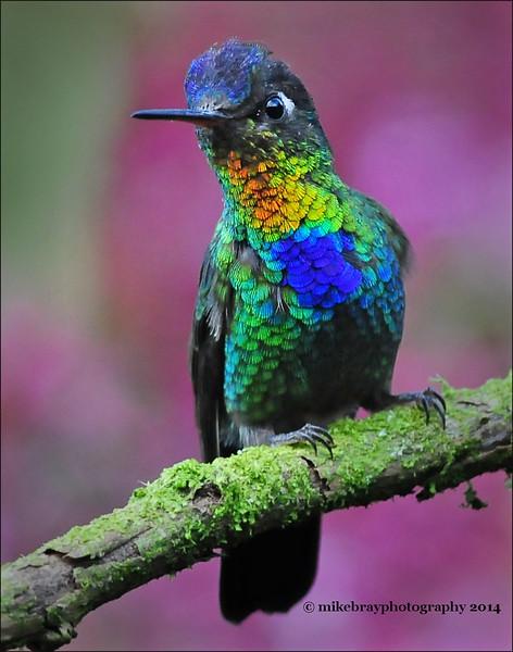 Fiery-throated hummingbird 11cp