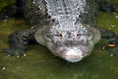 Gator_1Lr