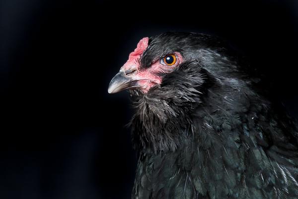 chickens-5802