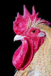 chickens-5692-2