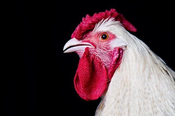 chickens-5646-2