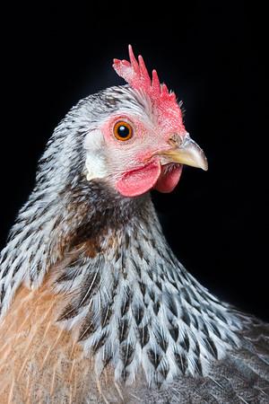 chickens-5743-2