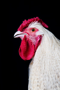 chickens-5646