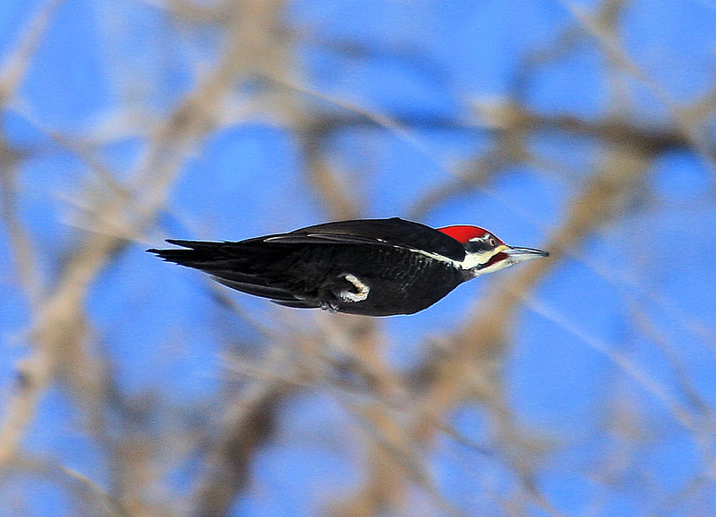 the flight of the pileated