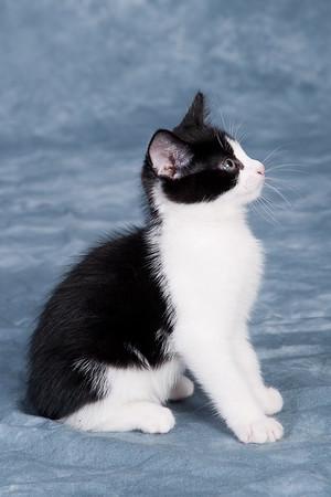 Kitten 1A