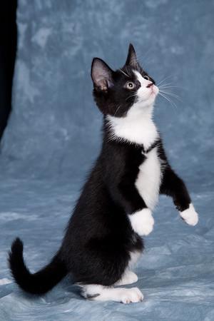 Kitten 4A