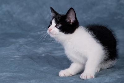 Kitten 1C