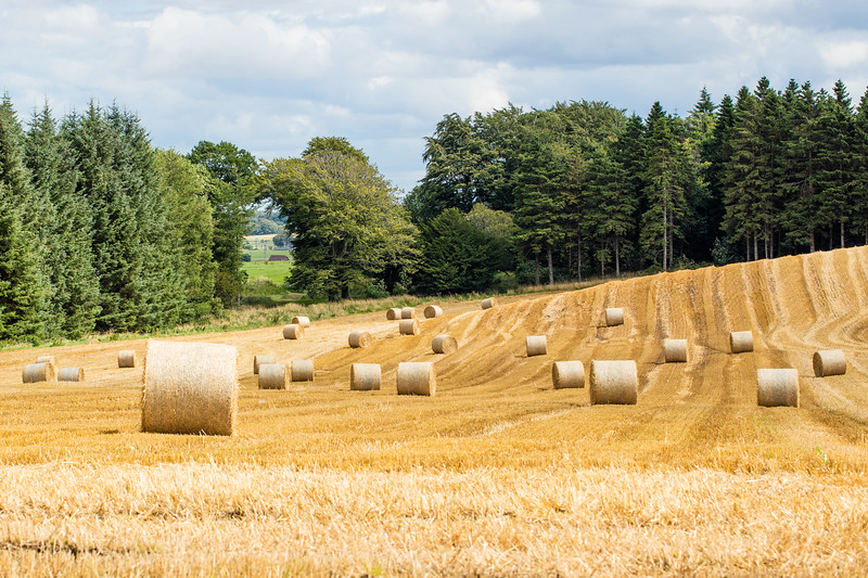 Fields of gold at Penicuik House