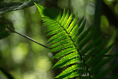 Sunlit Fern  Print sizes4x6 $0.01 USD8x12 $0.02 USD16x25 $0.04 USD