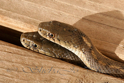 Two heads are better than one... even if under the porch, at your front door. Just garter snakes, not dangerous. Fun and interesting to shoot.