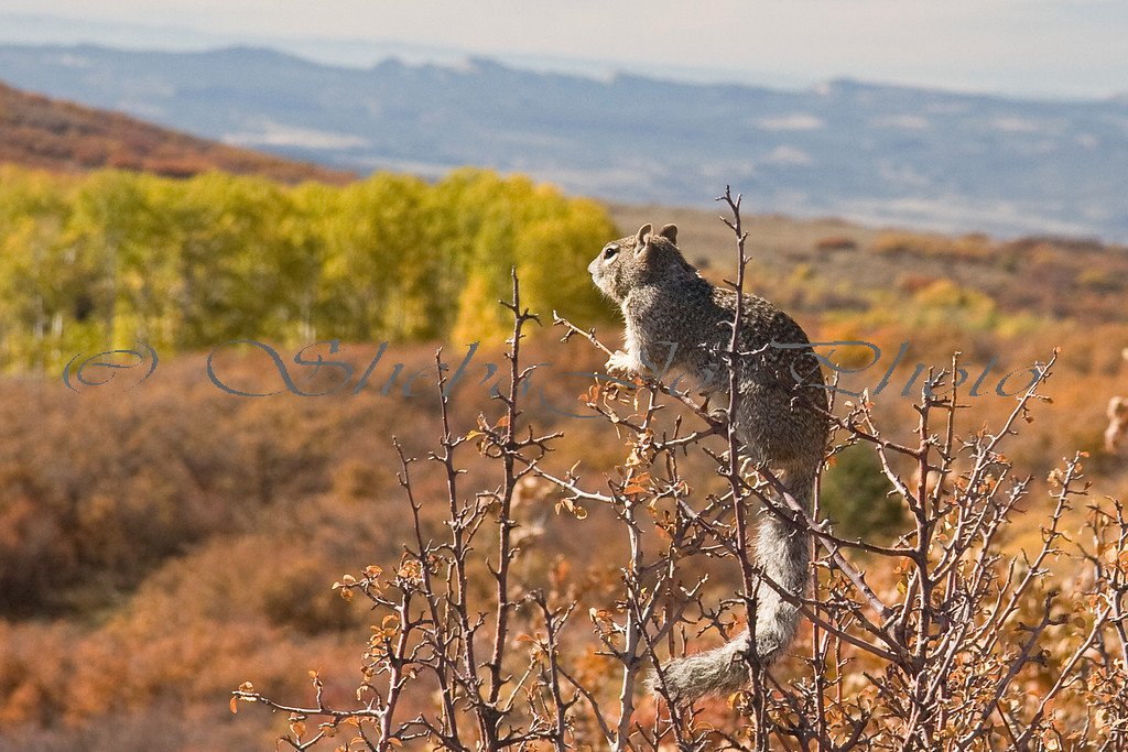 squirrel taking in the fall colors, on grand mesa (back road ending in colbran), bookcliff mountains, then colorado national monument in the distance