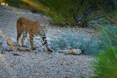 Desert Creatures