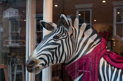 Zebra in scarf