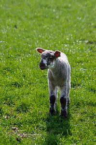 Lamb alone