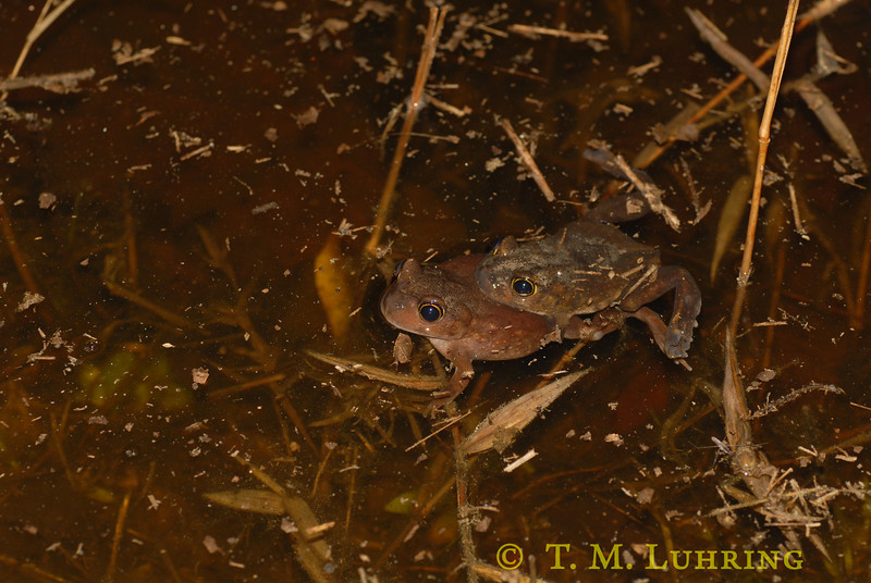 Eastern Spadefoot Toad (Scaphiopus holbrookii), Barnwell County, SC