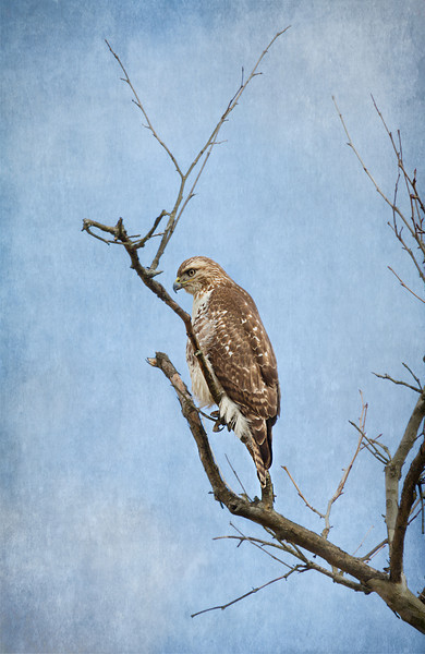Red Tail Hawk...I textured the sky in this photo.