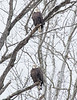 Eagles over the Cuyahoga River