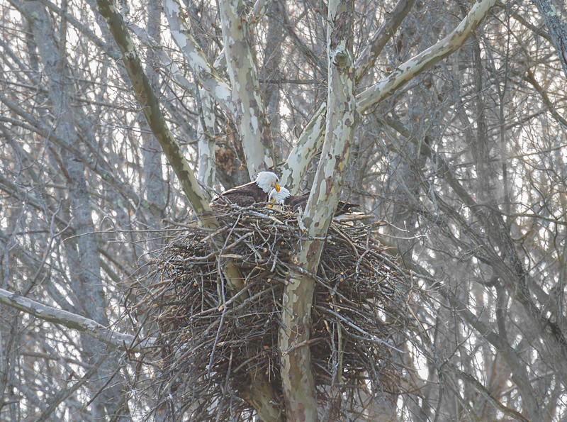 Mom and Dad in the nest.