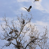 Blue Heron Rookery :