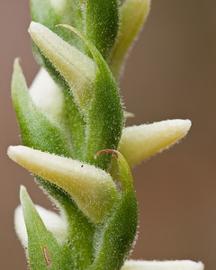 Nodding Ladies' Tresses