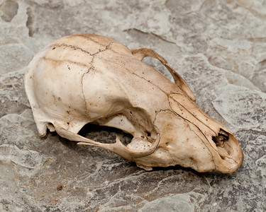 Brandywine Gorge - Raccoon Skull Portraits - April 3, 2011