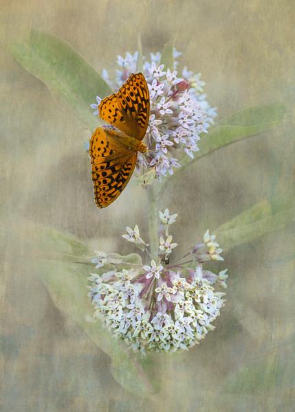 Fritillary Butterfly on Milkweed