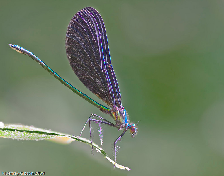 Jewelwing Damselfly
