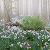Foggy Jonquil field...SELECTED!!