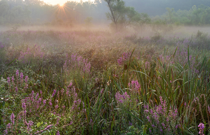 Purple Loosestrife at Beaver Marsh