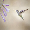 Hummingbird and Hosta