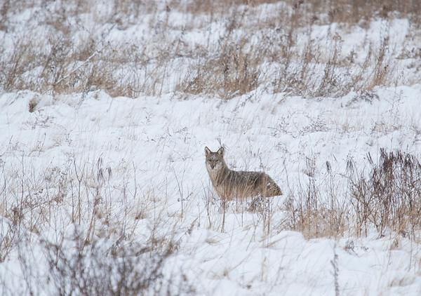 Coyote at Brecksville Reservation