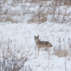 Coyote at Brecksville Reservation