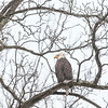 Eagle perched above the Cuyahoga River