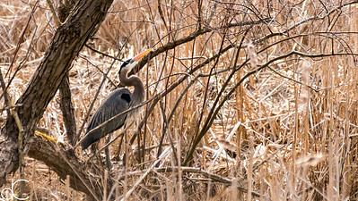 Great Blue Heron, Bath Road Heronry, Cuyahoga Valley National Park, April 2016.