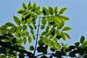 Kentucky Coffee Tree (Gymnocladus dioica)<br /> Family Fabaceae (pea family)<br /> <br /> Toledo Botanical Garden, Ohio<br /> June 3, 2012<br /> (nex5n)