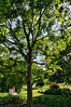 Kentucky Coffee Tree (Gymnocladus dioica)<br /> Family Fabaceae (pea family)<br /> <br /> Toledo Botanical Garden, Ohio<br /> June 3, 2012<br /> (nex5n)