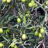 THE SCENT OF OLIVES WAS EVERYWHERE EVEN WHEN THERE WASN'T A TREE IN SIGHT.....BUT YOU ARE NEVER OUT OF SIGHT OF OLIVE TREES.