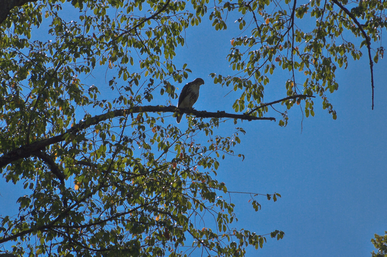 This hawk showed up for Per-Race Picnic