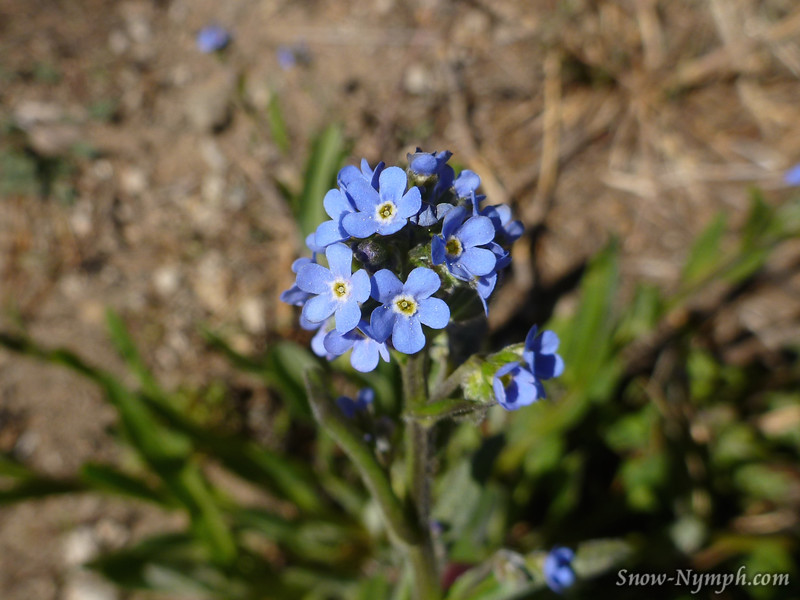 June 19, 2016  Forget me nots or Baby blue eyes (will look up later)